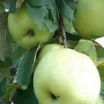 Саженцы яблони - Антоновка