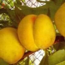 Саджанці персика - Донецький жовтий