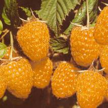 Саженцы малины-дерева Желтый в горшках