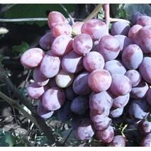 "Саджанець винограду ""Фавор"""
