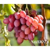 "Виноград ""Анюта"""
