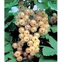 Саженцы смородины белой Зитавия (Zitivia)