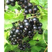 Саженцы смородины черной Титания