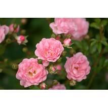 Саджанці троянди Зе Фейрі (ІТЯ-28)