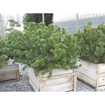 Сосна горная Мугус (Pinus mugo mughus)