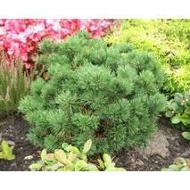 """Сосна горная """"Мопс"""" (Pinus mugo Mops)"""