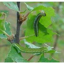Біологічний інсектицид «Globioma ВТ»
