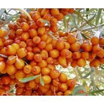 Облепиха Лыбидь (растение в контейнере) (ОКН-625) за 2-4 л