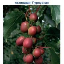 Саджанці актинідії аргути Пурпурової садової