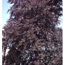 Бук Atropunicea (ОКН-49) за 5-7,5л