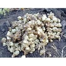 Топинамбур земляная груша