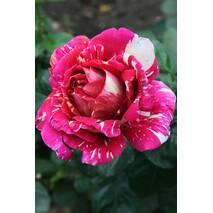 Саджанці троянди Строката фантазія (ІТЯ-147)