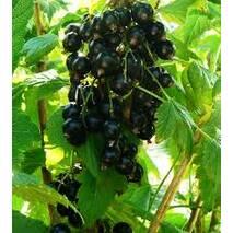 Саженцы смородины черной Софиевская в горшках