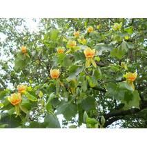 Тюльпанове дерево (LIRIODENDRON Tulipifera) (ОКН-727) за 2-4 л