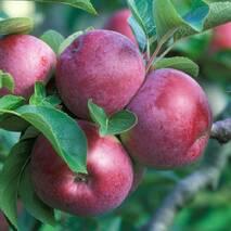 Яблоня Спартан  (зимний сорт)