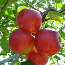 Яблоки сорта Декоста