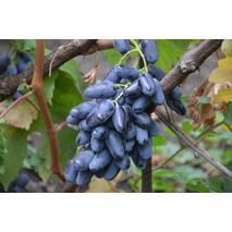 Черенки винограда Байконур