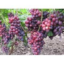 Черенки винограда Заря Несветая