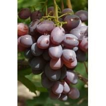 """Саджанці винограду """"Пам'яті батька"""""""