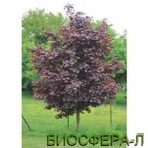 Клен гостролистий Фассенс Блек (Acer platanoides Faassen's Black)