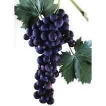 """Саджанці винограду """"Кардинал"""""""