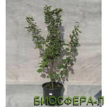 Клен несправжньоплатановий Принц Хандієрі (Acer pseudoplatanus Prinz Handiery)
