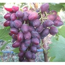 """Саджанці винограду """"Кармен"""""""