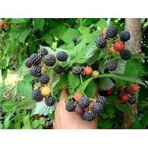 Садженці чорної малини Бристоль в горшках