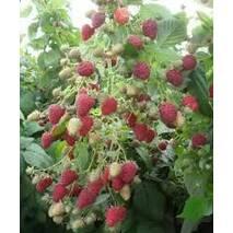 Саджанці малини Маростар (франція) в горшках