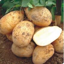 Картопля  Агата