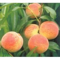 Саджанець персику Грінсборо