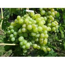 Саженец винограда Кеша