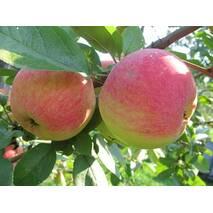Саджанець яблуні Оттава
