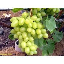 Саженец винограда Аркадия