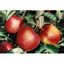 Саджанець яблуні Гала ред