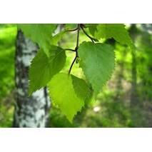 Екстракт листя берези