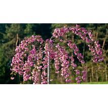 Prunus serr. 'Kiku-shidare-sakura' Сакура