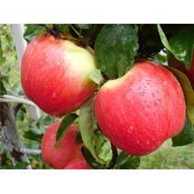 "Саджанець яблуні ""Ерлі Женева"""