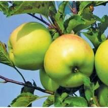 """Саджанець яблуні """"Оріон"""""""