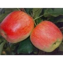 """Саджанець яблуні """"Апачі"""", купити недорого"""