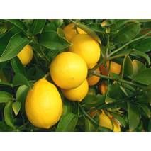 Лимон Меєра (ІКМ-2) за 0,5-1,5 л