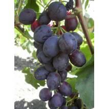 Черенки винограда Аюта