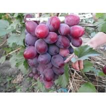 Саженцы винограда Эверест, купить в Украине