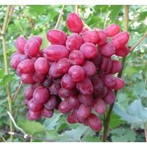 Черенки винограда Велес, купить
