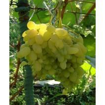 Саженцы винограда Гелиодор