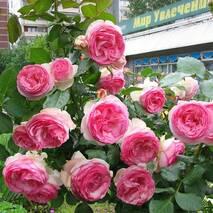 Саджанці троянди Еден Роуз (ІТЯ-99)