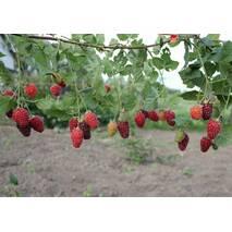 Саджанці ежемалини Тайберрі  врожайний і дуже ранній