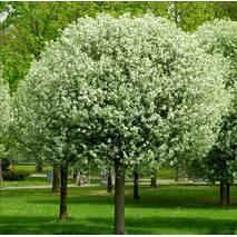Вишня кулеподібна Умбракулифера (Prunus eminens Umbraculifera)
