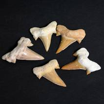 Зубы акулы (палеонтологические древности)