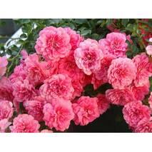 Троянда поліантова Міратто (ІТЯ-288)